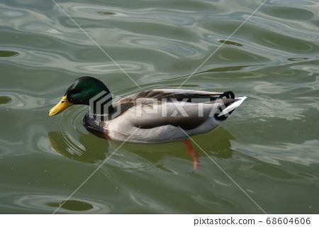 鴨子在湖上 68604606