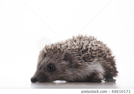 image of hedgehog white background  68610171
