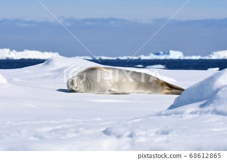在冰上封印(南極洲) 68612865