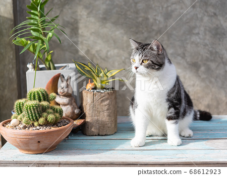Tabby cat  sit on blue wooden table with a cactus 68612923