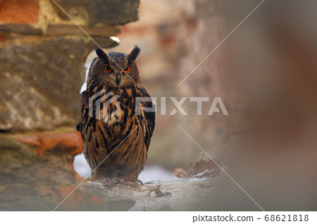 A big brown eared owl sits on an ancient stone 68621818