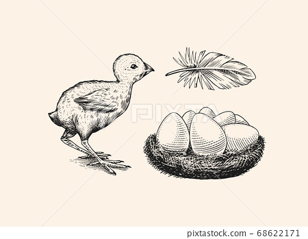 Chicken and feather, nest with eggs. Farm product. Engraved hand drawn vintage sketch. Woodcut style 68622171