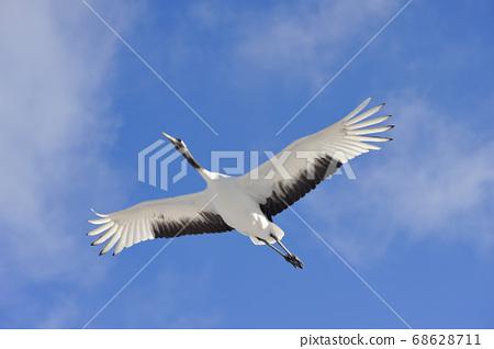 日本起重機在蔚藍的天空中飛翔(北海道鶴井村) 68628711