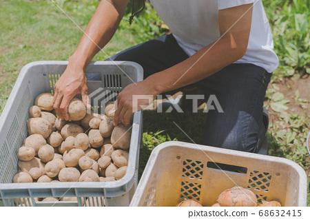 감자 수확 농가 68632415