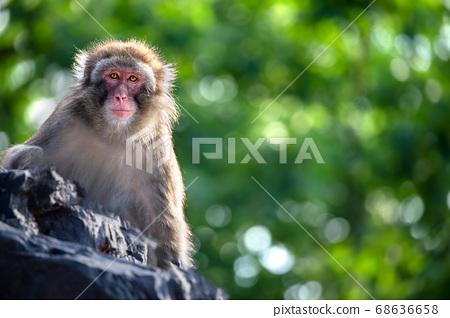 日本猴子日本猴子 68636658