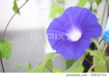 Morning glory 68648738