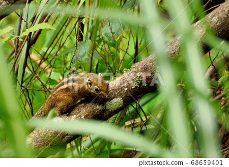 條紋松鼠(Tamiops swinhoei formosanus)在台灣山上. 68659401
