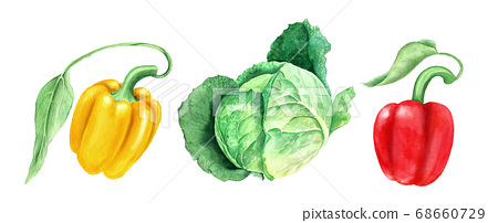 Set of vegetables: cabbage and yellow and paprikas watercolor illustration 68660729