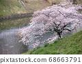 櫻桃樹 68663791