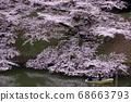 櫻桃樹 68663793