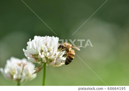 蜜蜂從三葉草收集花蜜 68664195