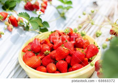 草莓採摘草莓屋 68668372