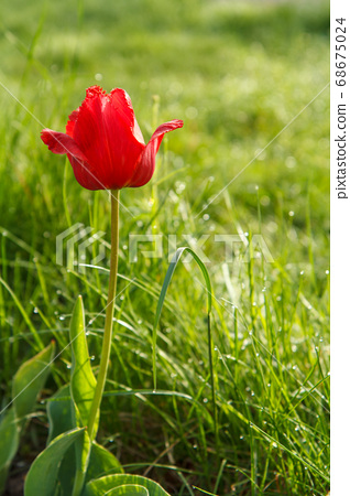 Flower of tulip in green grass with drops of 68675024