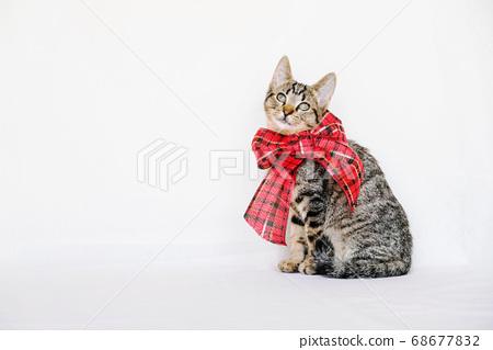 Beautiful mackerel tabby kitten with festive ribbon. 68677832