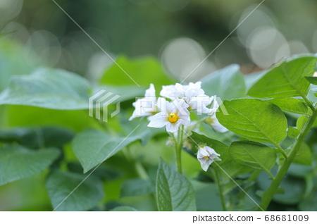 흰 꽃을 피우는 감자 밭 (5 월) 68681009