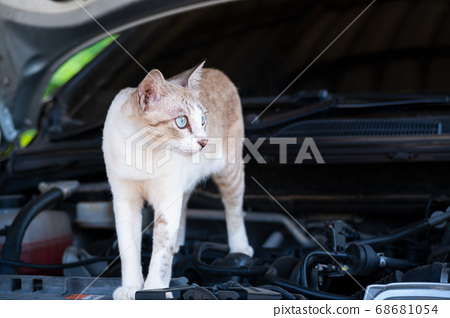 Cat is standing on the car engine room.Protect a Car from Rats and Mice 68681054