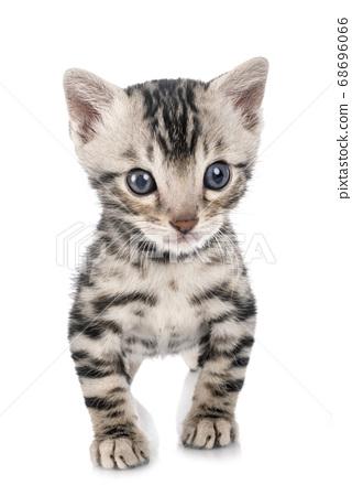 munchkin bengal kitten 68696066