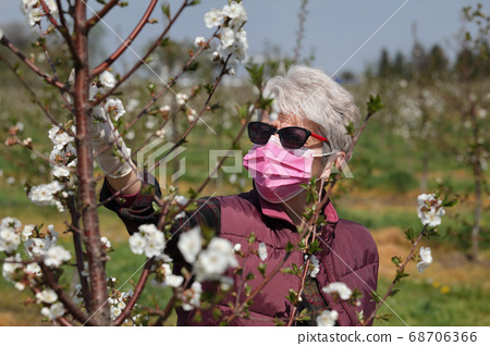 Female farmer in cherry orchard analyze blossoming 68706366