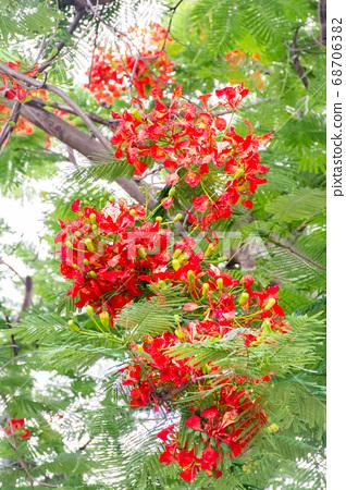 盛開的鳳凰花 68706382