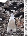 포란하는 턱끈 펭귄 (남극) 68714506