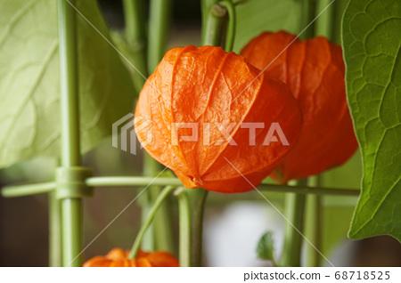 오렌지 꽈리 열매 68718525