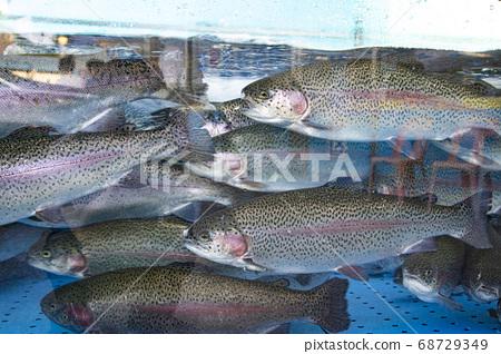 虹鱒魚在水族館的水中游泳 68729349