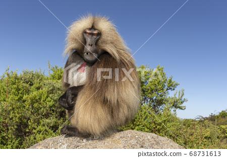 Close up of male Gelada monkey sitting on a rock 68731613