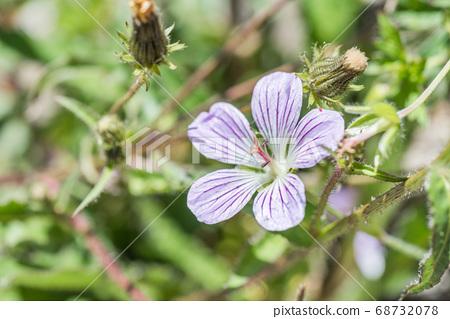native species of Single Flower Cranesbill 68732078