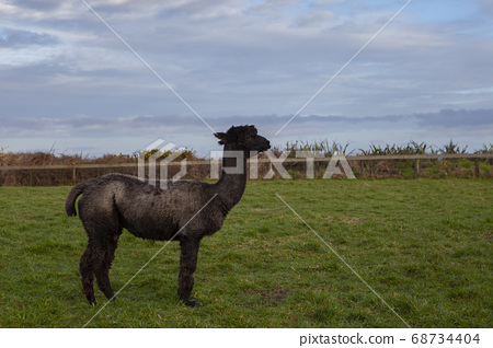 side view of black fur alpaca in new zealand 68734404