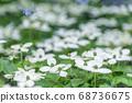 산딸나무꽃,봄꽃 68736675