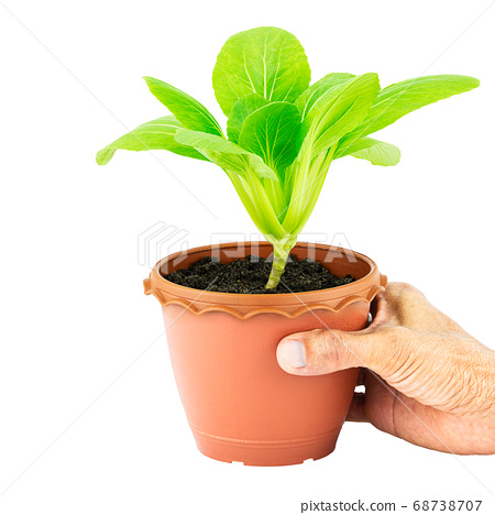 Hand holding pot of green vegetable lettuce on white background with clipping path 68738707