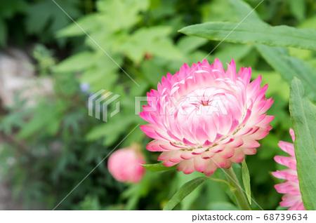 盛開的蠟菊 68739634