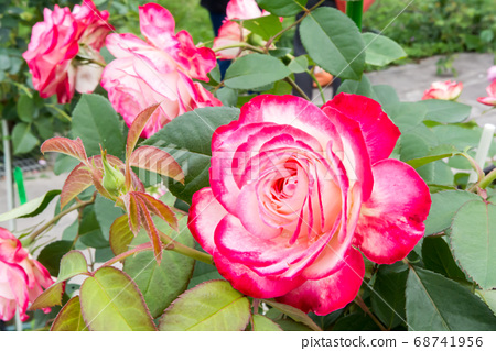盛開的玫瑰花 68741956