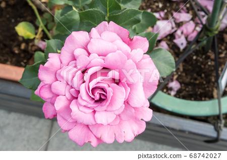 盛開的玫瑰花 68742027