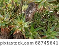 Red Hot Poker, Aloe Arborescens, Aloeacceae from South Africa 68745641