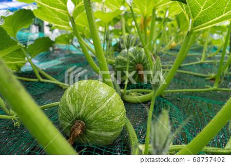 雨季(6月)家庭花園生長的南瓜種子 68757402