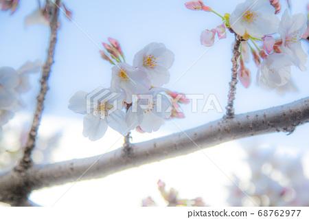 나카 메구로의 벚꽃 하늘 68762977