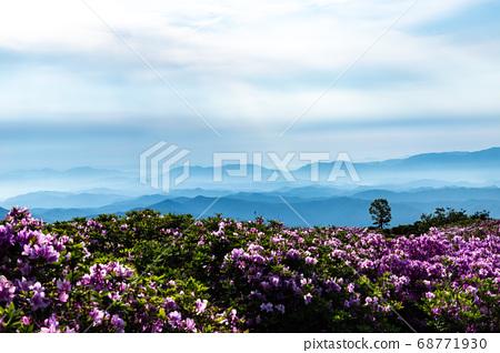 杜鵑花和桑格里姆 68771930