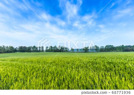 청보리밭 풍경 68771936
