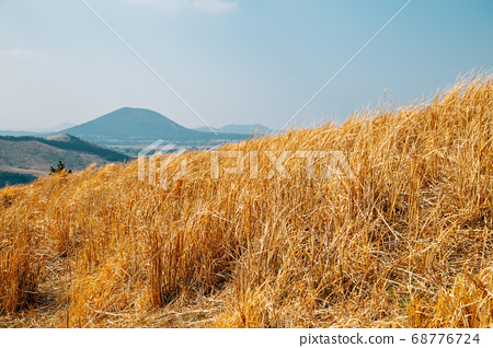 Dry reed field at Yongnunioreum volcanic cone in Jeju Island, Korea 68776724