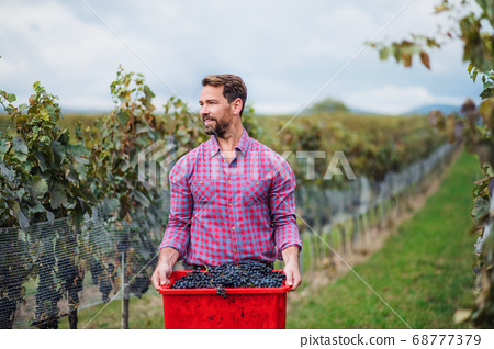 Man worker carrying box of grapes in vineyard in autumn, harvest concept. 68777379