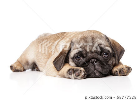 Sad Pug puppy resting on a white background 68777528