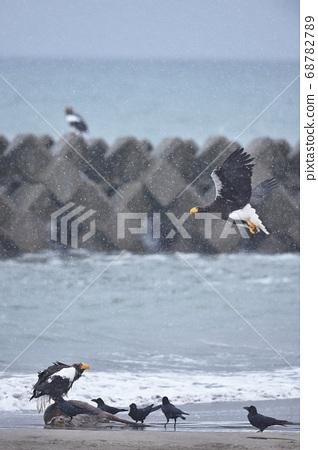 에조 사슴의 시체에 군집하는 독수리와 까마귀 (홋카이도) 68782789