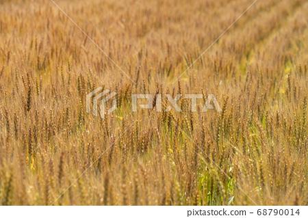 麥田接近綠色到綠色(6月)小麥蜘蛛網 68790014