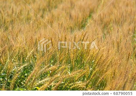 麥田接近綠色到綠色(6月)小麥 68790055