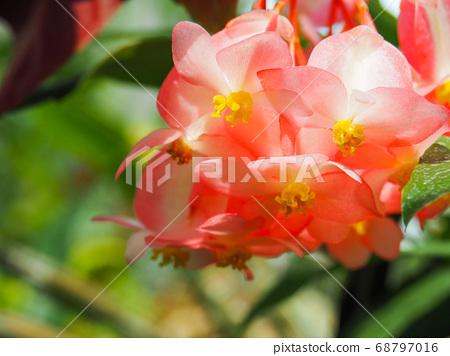 Tree Begonia shooting star 68797016