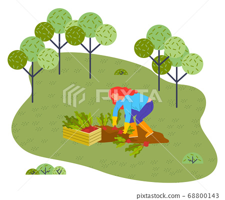 Woman harvests beets vector flat illustration of person pulls hands a vegetable from the ground 68800143