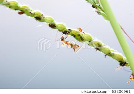 螞蟻和蚜蟲 68800961