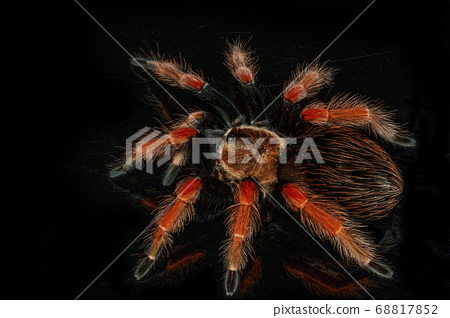 Black and red hairy spider on isolated black 68817852