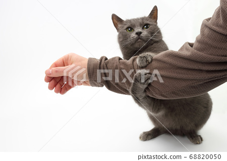 grey cat clasped his paws a man's hand on white 68820050